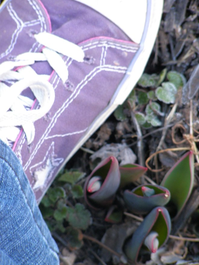 red-tipped tulip sprouts and my favorite purple converse