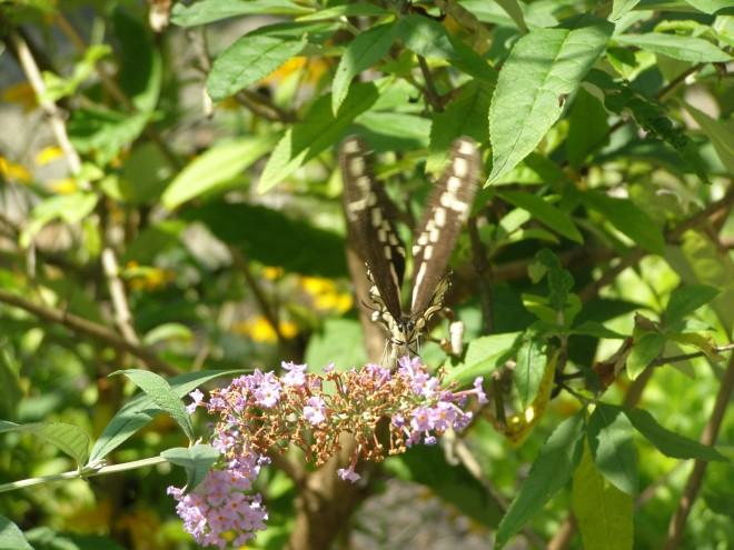FeeDing FenZy: monarchs drinking deep for the journey ahead