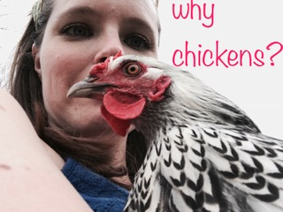 why chickens